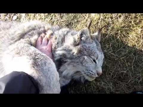 Max Canada Lynx March Shedding