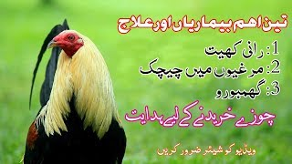 Golden misri hen vaccination /Rani khet Vaccination