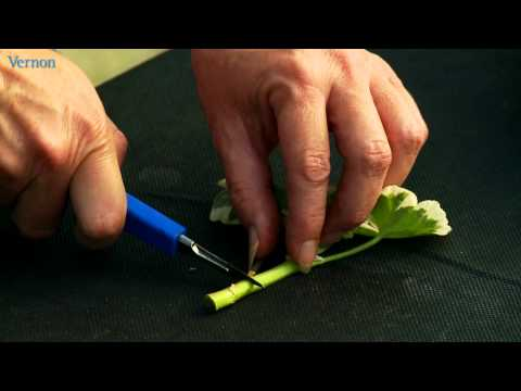 How to take geranium cuttings