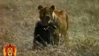 LİON vs GORILLA Real Fight ►► Grizzly Bear Wolf Gorilla (Baboon) Tiger Leopard Wild Cat Snake