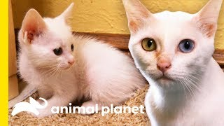 Rare 'Khao Manee' Cats Have Strikingly Beautiful Odd-Colored Eyes   Cats 101