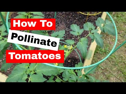 How to pollinate tomato plants and garden growth