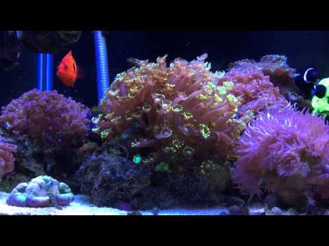 Reef Tank Clown Fish Hosting Coral