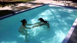 Afghan Hound Max's First Swim
