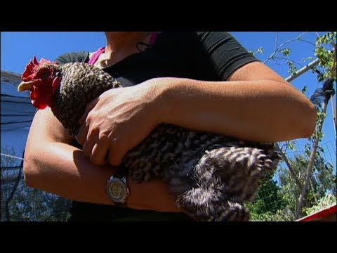 Raising Backyard Chickens - Picking Chickens Up