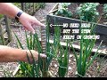 Grow Onions.  Amazing growth spurt when a seed head is removed