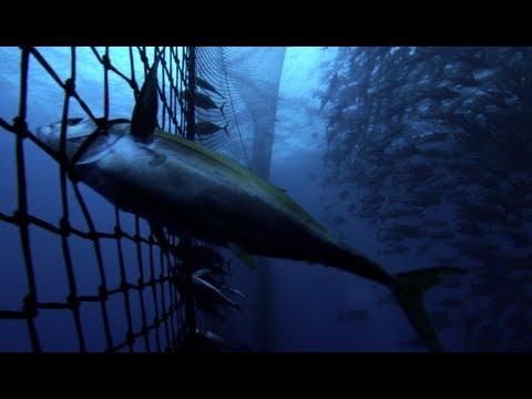 Pacific Tuna On The Line