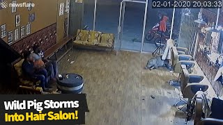 Wild pig breaks into hair salon, customers run for safety.