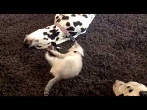 Lady the Dalmatian Dog Puts Up With Feisty Kitten Squirt.