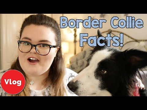 7 Border Collie Breed Facts! Everything You Need to Know About Border Collie Personality and Traits!