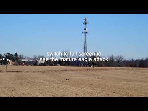 American Eagle Sneak Attack!!!