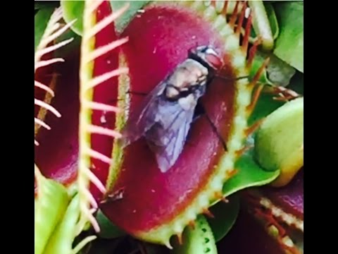 Venus flytrap eats a fly. Testing out slow motion video on my iphone