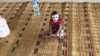Baby monkey Anna super angry with daddy leaves her stay alone