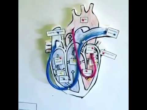 Apex International Academy - Working 3D model of the Human Heart.