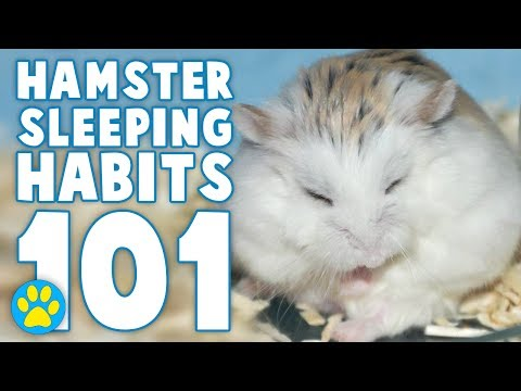 Why Is My Hamster Always Sleeping? (and other questions about sleep)