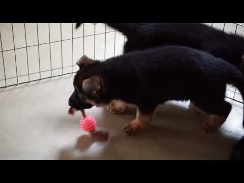 AKC Registered German Shepherd Puppies For Sale Millersburg Ohio