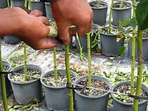 Commercial rose budding grafting