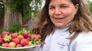 Our First Big Strawberry Harvest