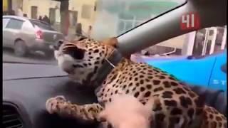 Леопард едет в такси / Новости