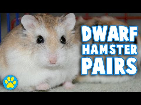Do Dwarf Hamsters Need To Live In Pairs?