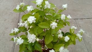 How to grow Jasmine plant in the pot