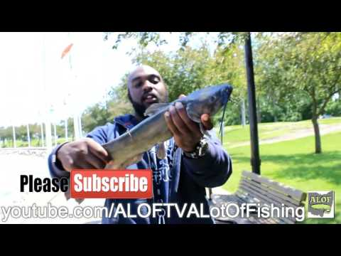 How to Identify A Male Channel Catfish.