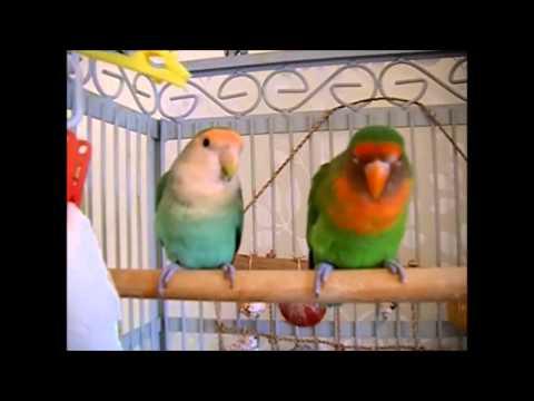 Lovebirds in Training