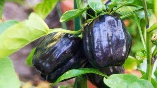 Harvesting Purple Peppers