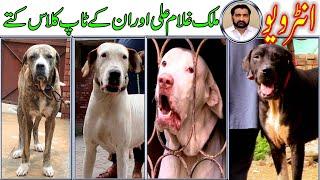 Best of Pakistan Bully Mastiff Dog And Interview Malik Gulam Ali By Nafa TV HD