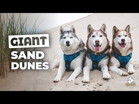 Huskies Playing in Oregon Sand Dunes