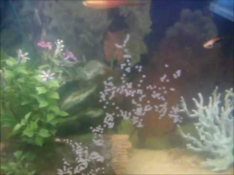 Albino Cory Catfish Spawning and Placing Eggs
