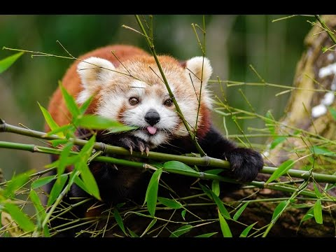 13 Things You Didn't Know About Red Pandas
