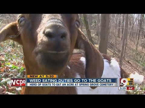 Weed eating duties go to the goats