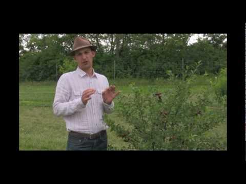 Carmine Jewel Dwarf Cherry Tree First Fruit - Gurney's Video