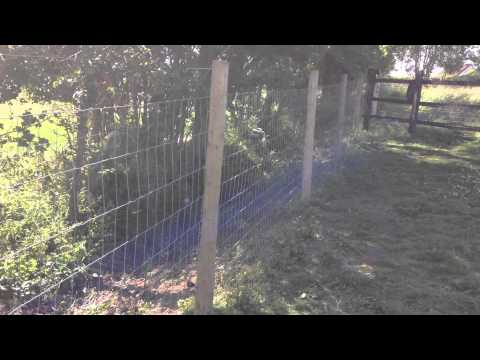Young fox near electric fence of poultry run