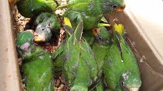 Birds Market karachi Java finches and dove beautiful Sparrows  in Urdu/Hindi.