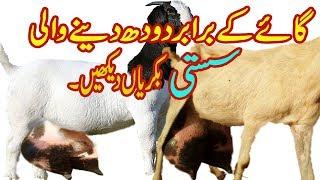 Hamare Sab ke janwar pure Hasi Bakre goat farming bakriyon ki forum