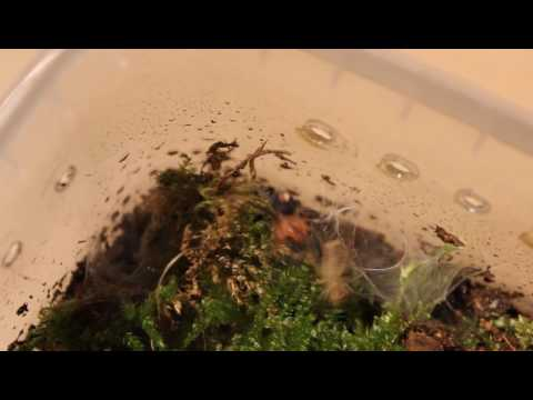 Dwarf Tarantula Cyriocosmus perezmilesi feeding on house cricket