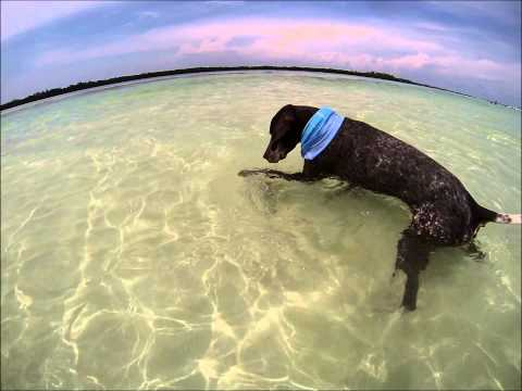 Bird Dog Catching Fish at Sandbar