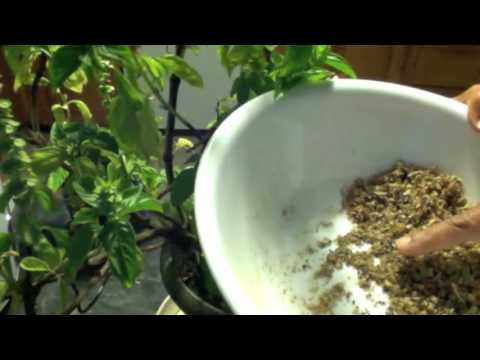 How to collect basil seeds and sow them. How to develop roots from a branch