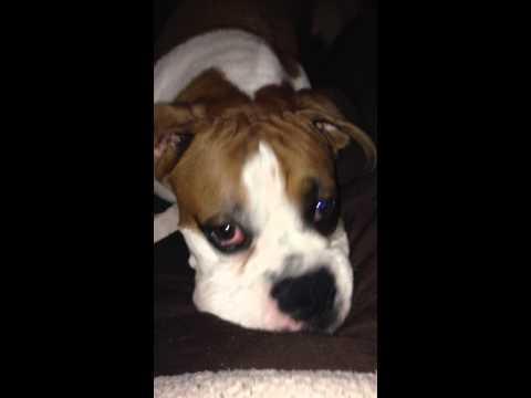 Head shakes boxer dog tremors not a seizure