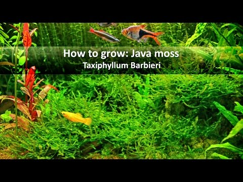 How to grow Java moss | Basics