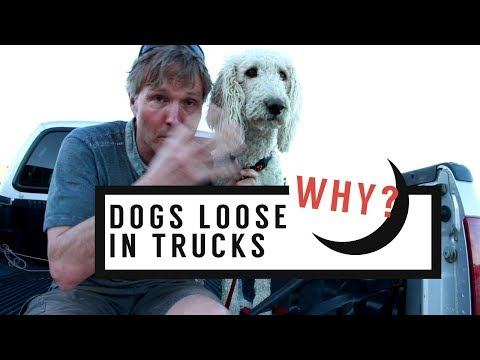 Dogs Allowed Loose in Back Of Trucks?