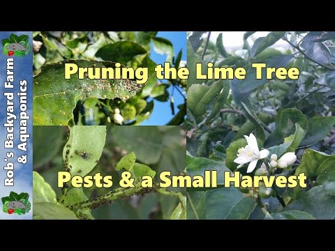 Shaping the lime tree, controling citrus tree pests & a small harvest