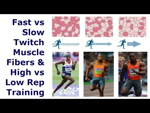 Fast vs Slow Twitch Muscle Fibers & High vs Low Rep Training