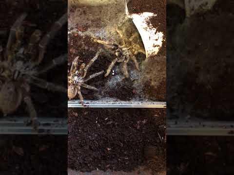 ceratogyrus darlingi mating attempt