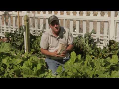 How to Harvest Mustard Greens - Sweet Corn Organic Nursery