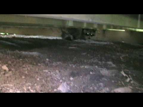 Raccoons under the deck...im such a wimp.