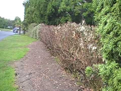 Hedge 4May2010 cut back 002.MOD