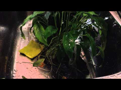 Cleaning my Aquarium Plants free from Algae